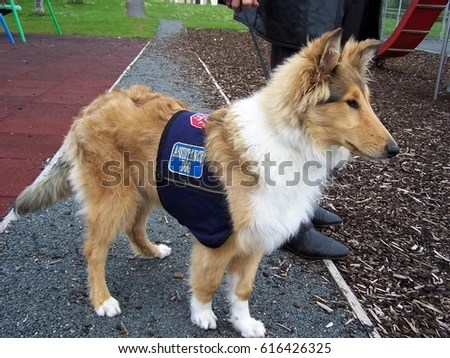 Young Collie Training Become Autism Assistance Stock Photo 616426325