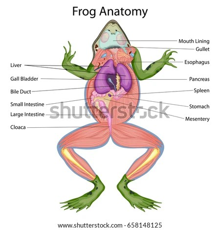 Education Chart Biology Dissected Body Frog Stock Vector 658148125 - frog body
