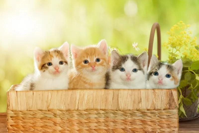 Baby Cat Cute Live Wallpaper 在篮子的四只小猫 库存图片 图片 包括有 宠物 忠告 小狗 外面 日历 敌意 看板卡 哺乳动物