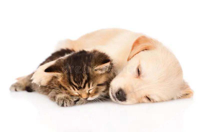 Cute Wallpapers Of Kittens And Puppies 金毛猎犬与英国小猫的小狗睡眠 查出 库存图片 图片 包括有 题头 小狗 婴孩 哺乳动物 关心 少许