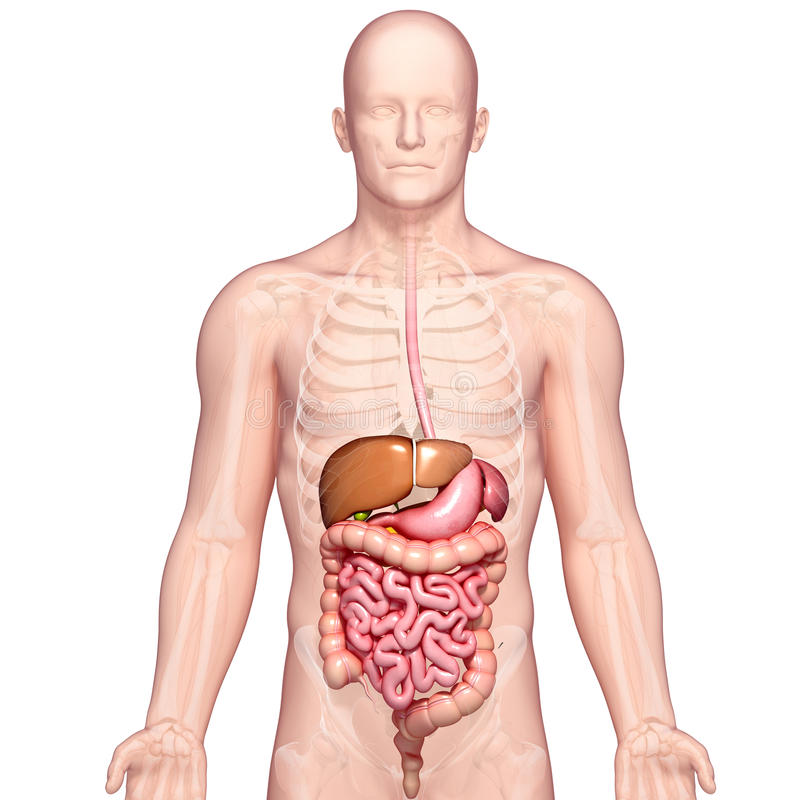 Anatomy Of Human Stomach And Liver Stock Illustration - Illustration - anatomy of stomach