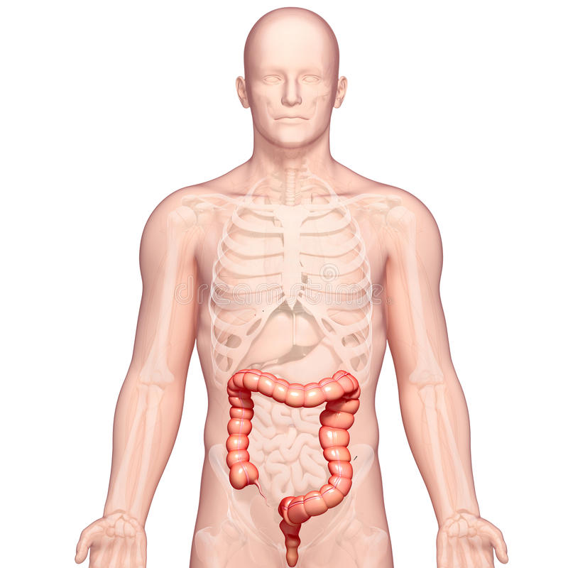 Anatomy Of Stomach Transverse Colon Stock Illustrationstomach ...