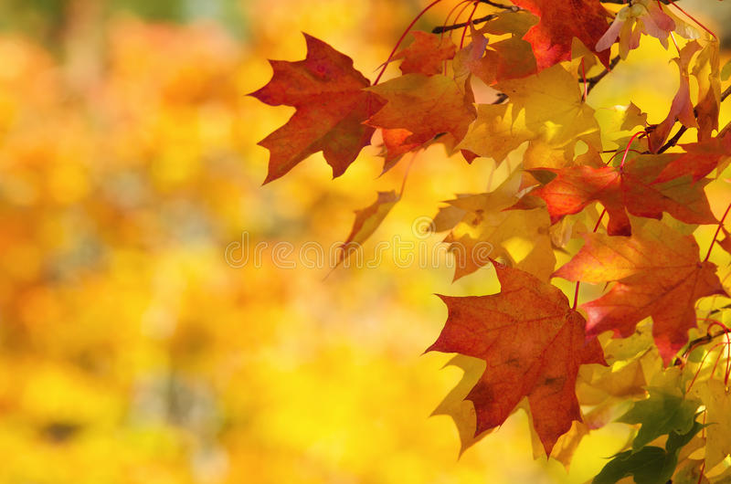 National Geographic Fall Wallpaper Autumn Leaves On Tree Branch Royalty Free Stock Image