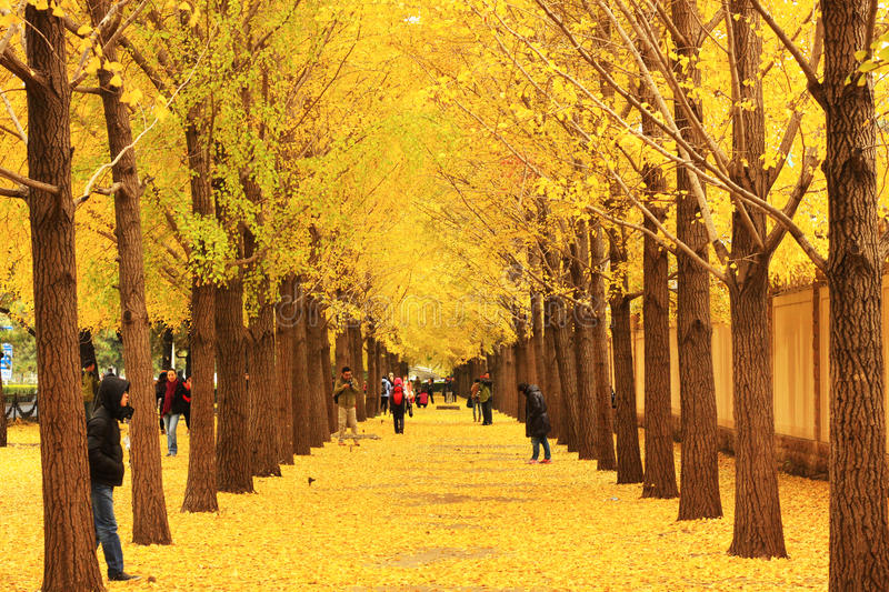 Fall Foliage Wallpaper Hd Autumn Scenery In Beijing Editorial Stock Photo Image