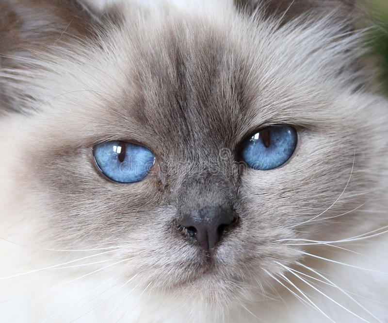 Cute White Kittens With Blue Eyes Wallpaper Beautiful Fluffy White Baby Blue Eyed Cat Stock Photo
