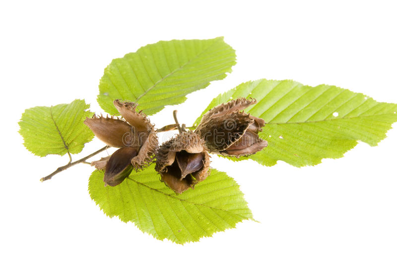 Buche Blatt Beech Nuts With Leaf Stock Photo. Image Of Natural, Shell