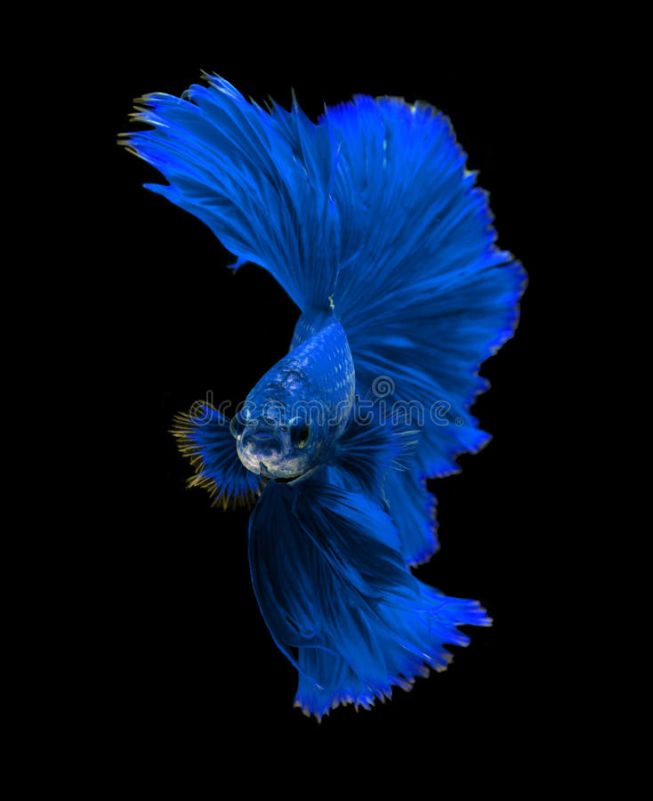 Fighter Fish Hd Wallpaper Download Blue Dragon Siamese Fighting Fish Betta Fish Isolated On