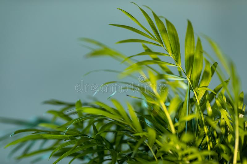 Chrysalidocarpus Lutescens Palm Tree Stock Image Image