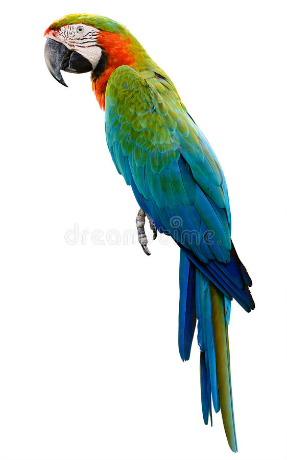 Colorful Animal Print Wallpaper Colorful Orange Parrot Macaw Royalty Free Stock Photos