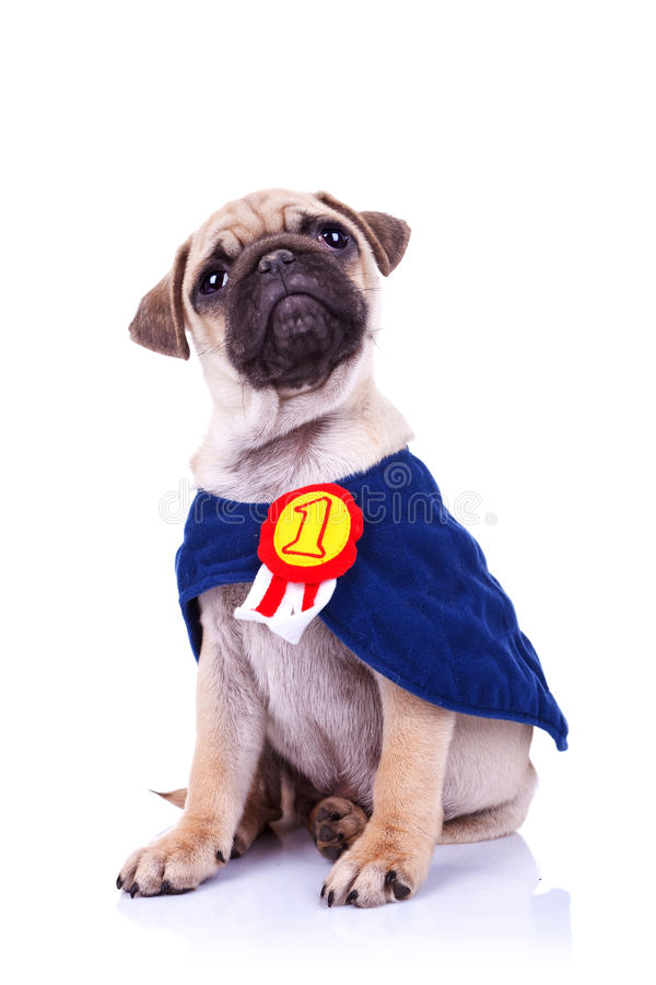 Cute Little Puppies Wallpapers Cute Little Pug Puppy Dog Champion Sitting Stock Image