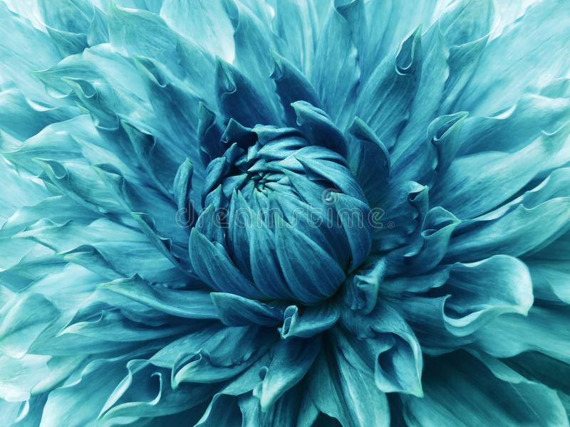 Dahlia Turquoise Flower Macro Motley Big Flower Background From A