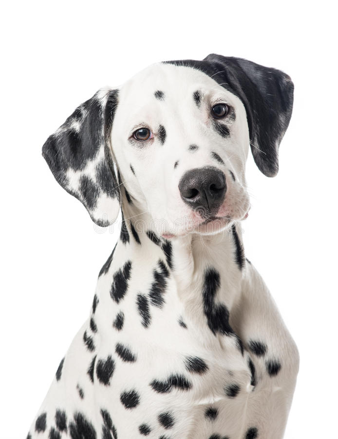 Blue Animal Print Wallpaper Dalmation Dog Portrait Stock Image Image Of Pretty