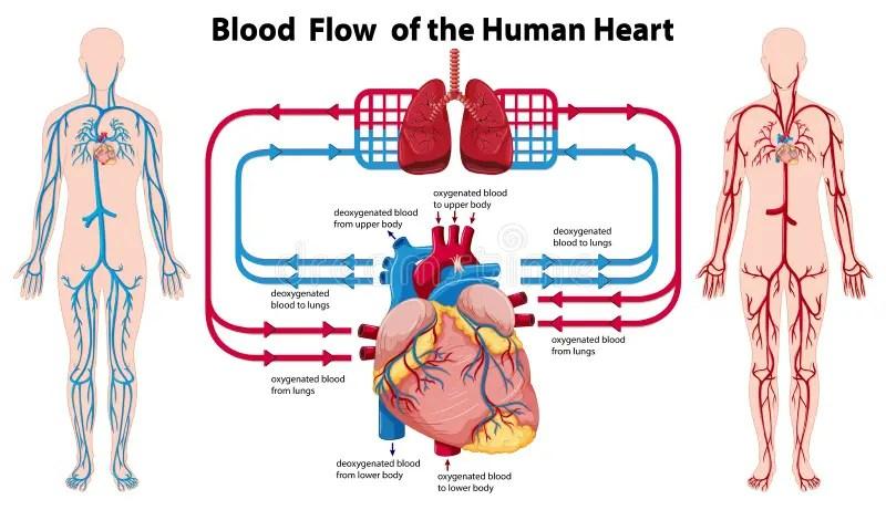Diagram Of Blood Circulation In Human Body Diagram