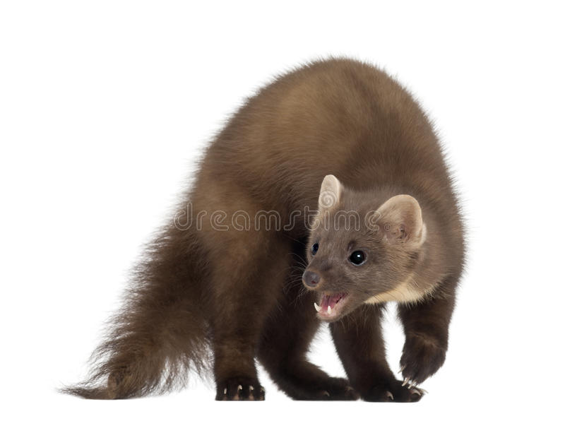 Marder Tier European Pine Marten Or Pine Marten Stock Image - Image Of