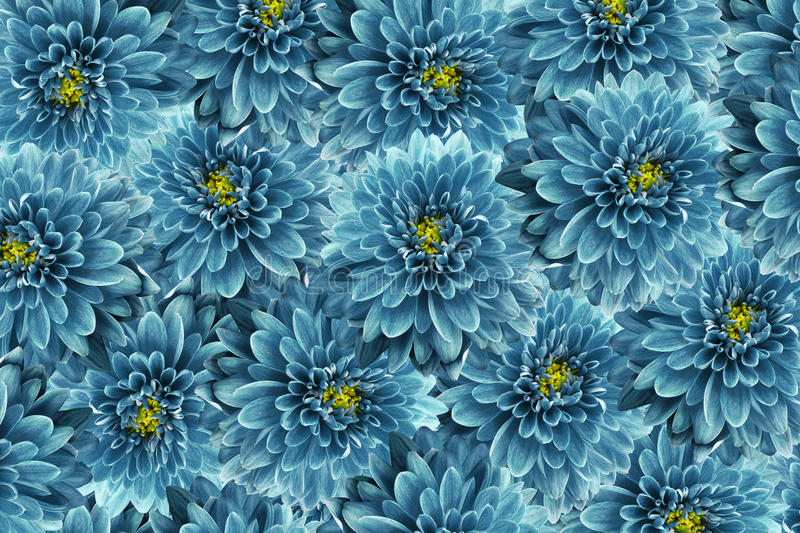 Flowers Background Turquoise Flowers Chrysanthemum Close-up