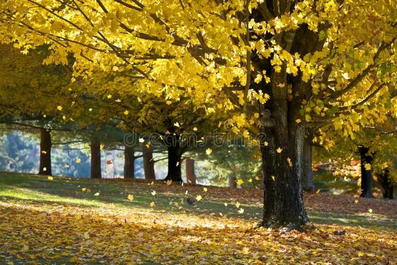 Fall Tree And Black Fence Wallpaper Folhas De Pl 225 Tano Do Amarelo Da Folha De Queda Da 225 Rvore
