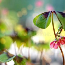 Four Leaf Clover With Flowers Stock Image Image of Fourleaf
