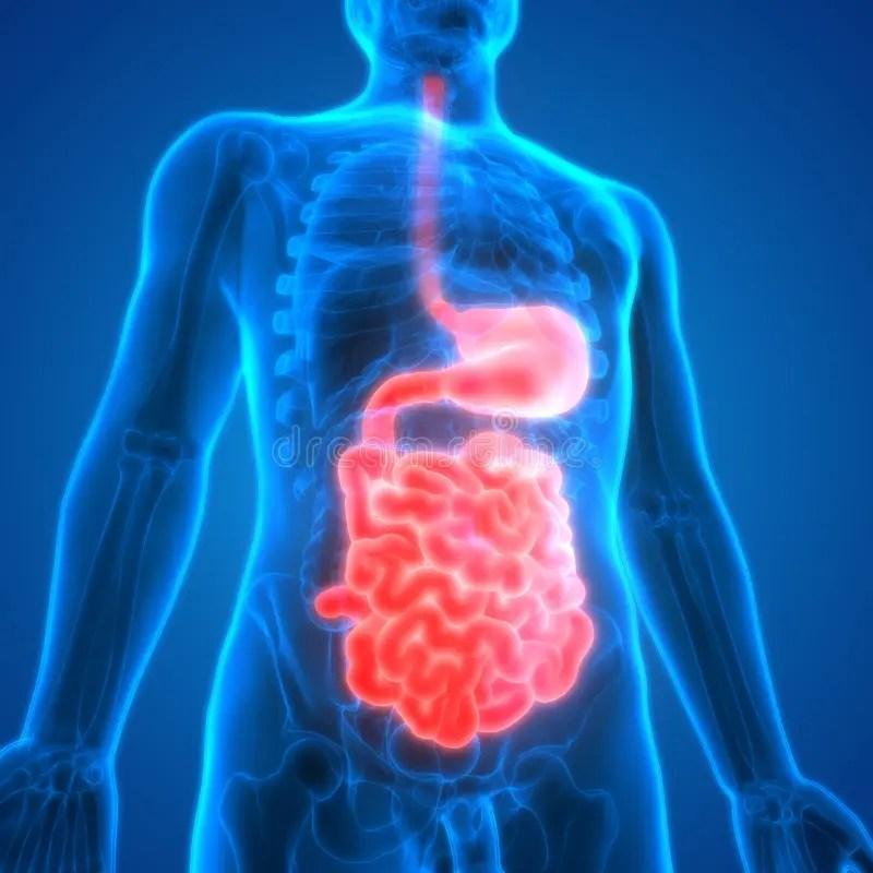 Human Digestive System Anatomy Stomach With Small Intestine Stock - anatomy of stomach