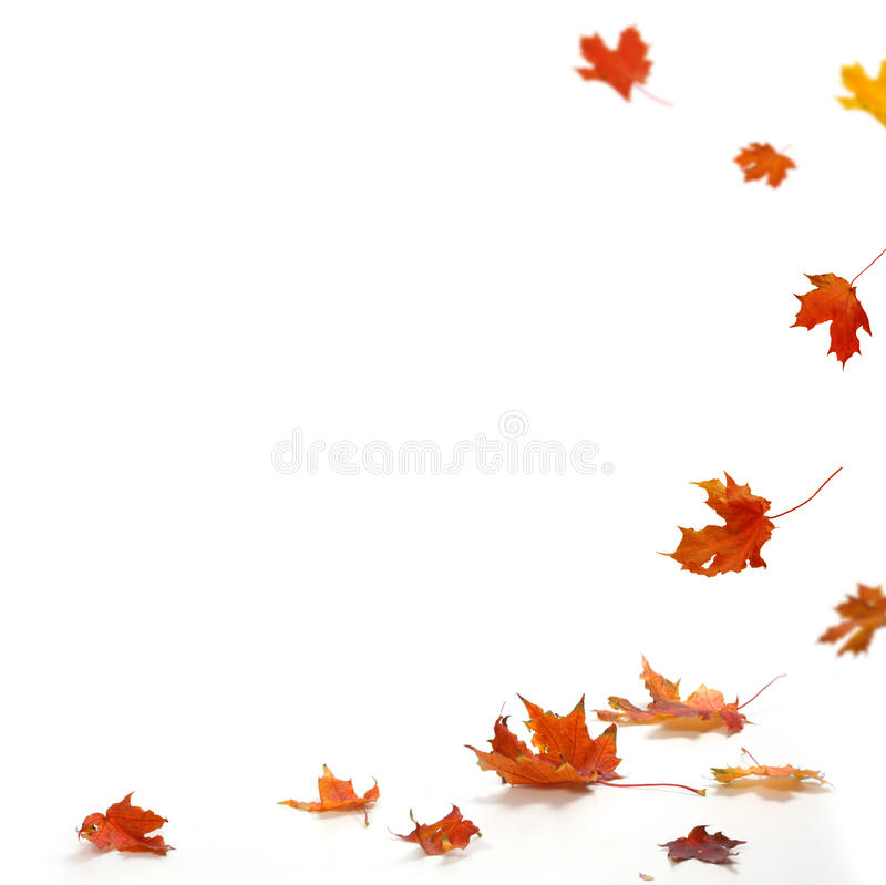Maple Leaf Wallpaper For Fall Season Isolated Autumn Leaves Stock Photo Image Of Color