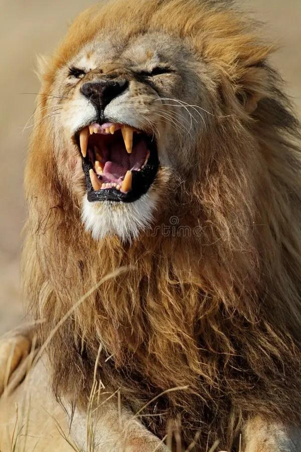 Lion Animal Wallpaper 3d Lion Male Showing Teeth Serengeti Stock Photo Image Of