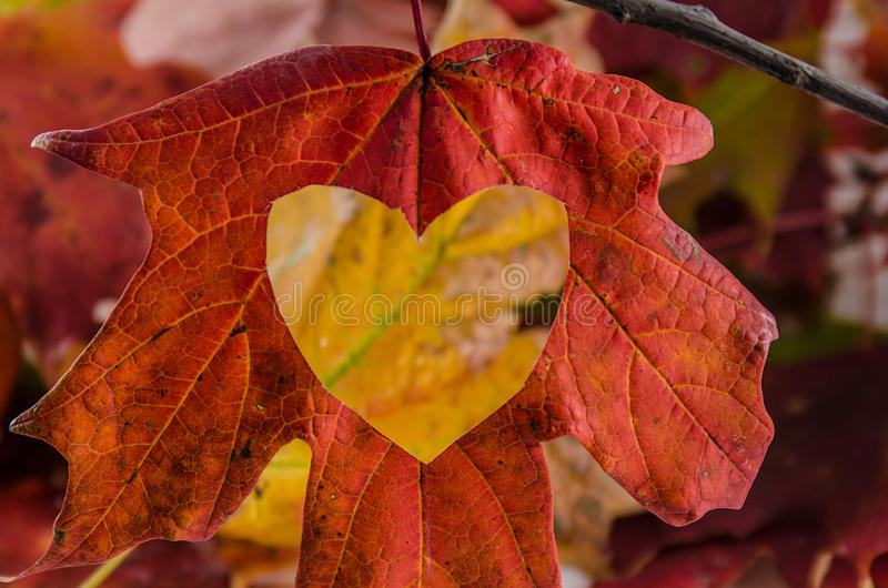 Fall Leaves Wallpaper Macbook Love Fall With A Heart Cut Into The Leaf Stock Photo