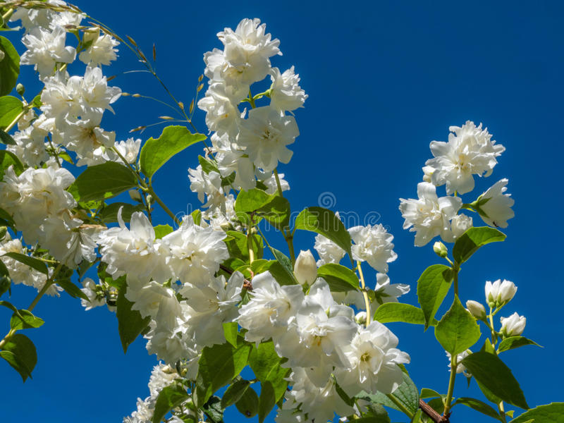 Jasminum Auriculatum Flowers Stock Photo Image Of Nature Flora 41165112 - Jasmin überwintern
