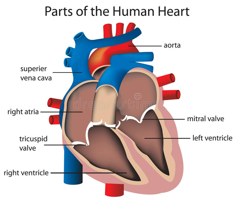Human heart anatomy graph diagramparts of the heart stock human heart anatomy graph diagram ccuart Image collections