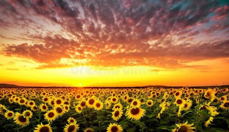 The Yellow Wallpaper Symbolism Quotes Por Do Sol Com Girassol Imagem De Stock Imagem De Outdoor