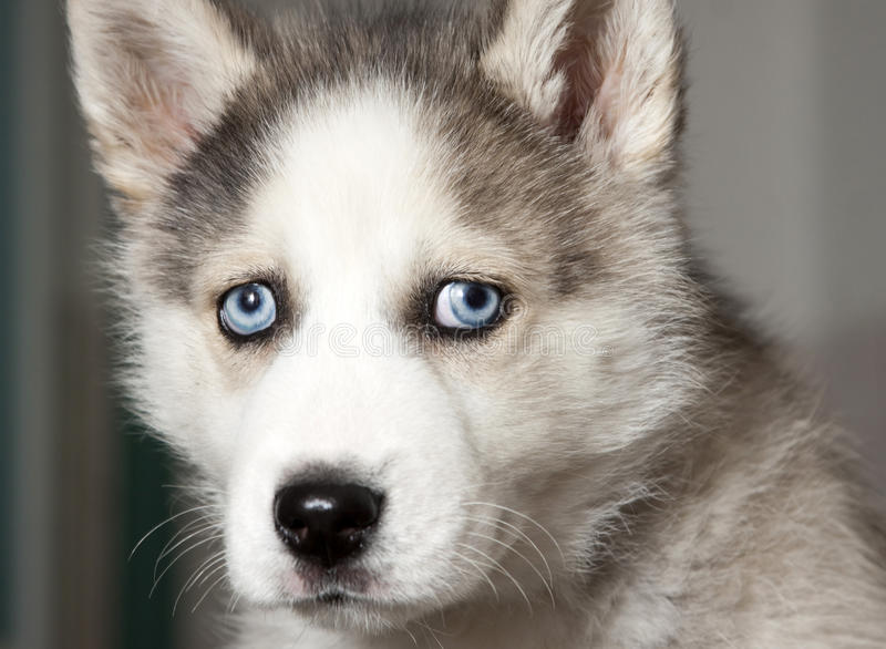 Cute Baby Puppy Pictures Wallpaper Portrait Of Cute Siberian Husky Puppy Stock Photo Image