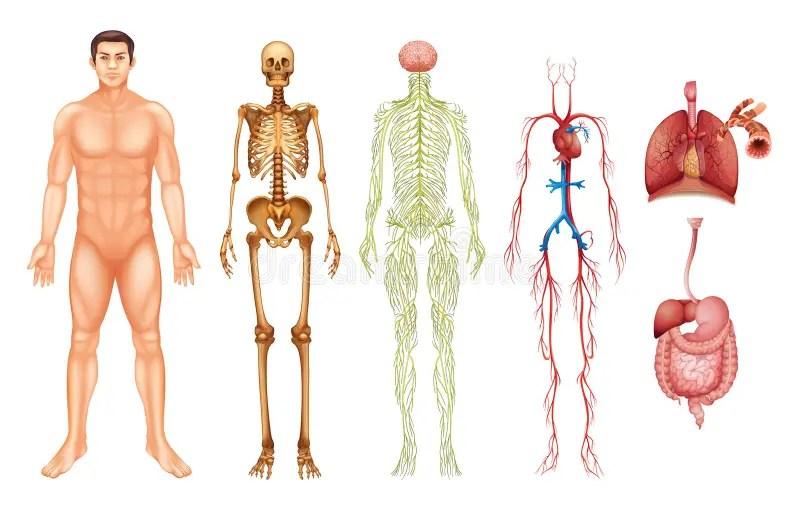 Sistemas del cuerpo humano ilustración del vector Ilustración de