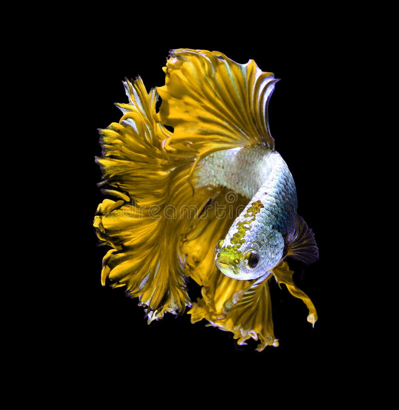 Fighter Fish Hd Wallpaper Download Yellow Dragon Siamese Fighting Fish Betta Fish Isolated