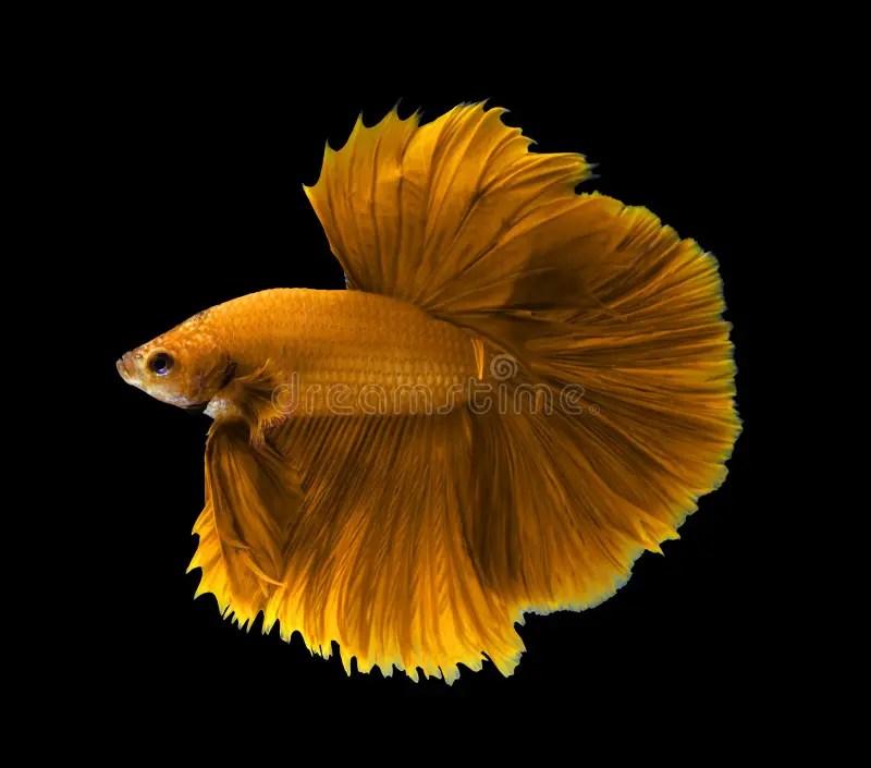 Fighter Fish Hd Wallpaper Download Yellow Siamese Fighting Fish Halfmoon Betta Fish Isolated