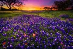 Smoky Mountains Fall Wallpaper Texas Bluebonnet Field At Sunrise Stock Photo Image