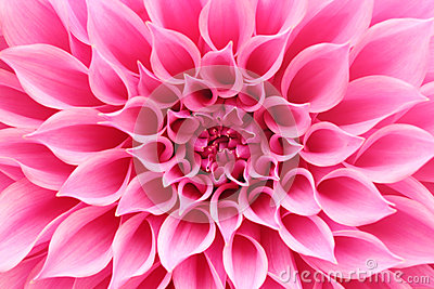 3d All Wallpaper Free Download Abstract Closeup Macro Of Pink Dahlia Flower With Pretty