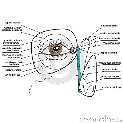 Anatomy Of The Lacrimal Apparatus Cartoon Vector CartoonDealer