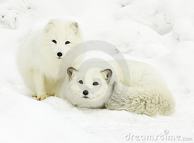 3d Animation Wallpaper Download Arctic Fox Pair Stock Images Image 13145014