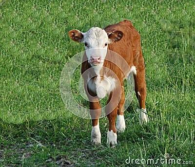 Babies Wallpaper Cute Baby Cow Stock Photos Image 2402183