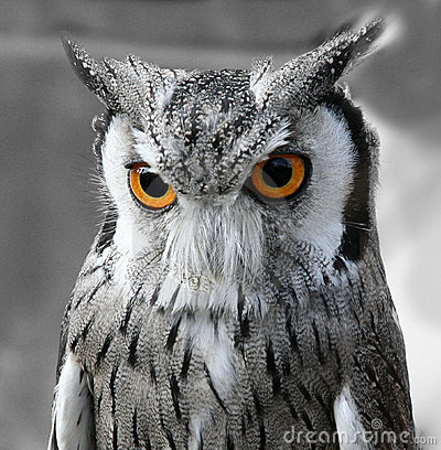 Animal Wild Wallpaper Hd 3d Black And White Owl Royalty Free Stock Image Image 3192676