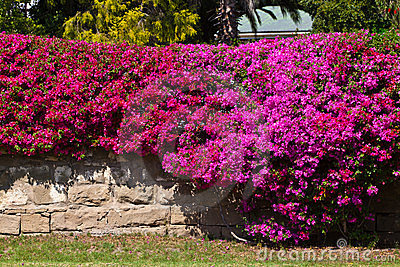 3d Stone Wallpaper For Walls Brick Wall Covered With A Bougainvillea Flower Stock