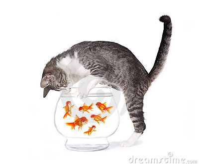 3d Fish Tank Wallpaper Cat Fishing For Gold Fish In An Aquarium Bowl Royalty Free