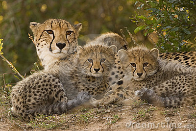 Cute Baby And Mother Wallpaper Cheetah Family Stock Image Image 3936311