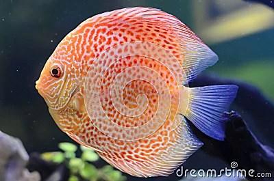 Download Koi Fish 3d Wallpaper Discus Fish Orange Symphysodon Discus Stock Photo
