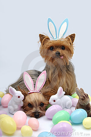 Cute Bunny Wallpaper Cartoon Easter Yorkshire Terrier Dogs Stock Photos Image 8763423