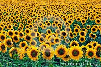 Fall Sunflower Desktop Wallpaper Field Of Sunflowers Royalty Free Stock Photo Image 5698355