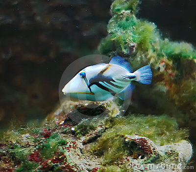 Yellow Black Striped Fish Aquarium Stock Photos, Images And Vector