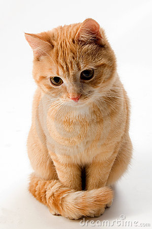Cute Kitty Wallpaper Desktop Ginger Cat Isolated On White Royalty Free Stock Photos