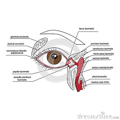 Lacrimal Apparatus Cartoon Vector CartoonDealer #44972655