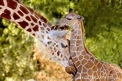 Images Of Cute Babies Wallpaper Free Download Mom Amp Baby Giraffe Stock Photo Image Of Baby Cute