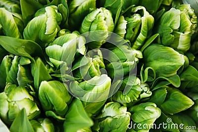 Multitude Of Green Tulips Stock Photo Image 47532028