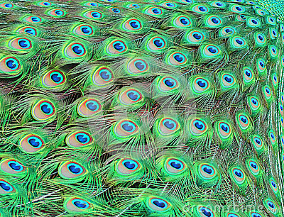 Peacock 3d Wallpaper Download Peacock Feathers Stock Photo Image 41187113